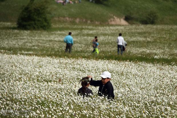 هفتمین جشنواره ملی گل های بابونه در نمین برگزار گردید