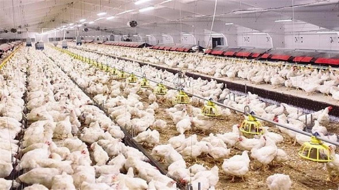 شوک دوباره به قیمت مرغ در بازار، مرغداران خواستار توجه مسئولان