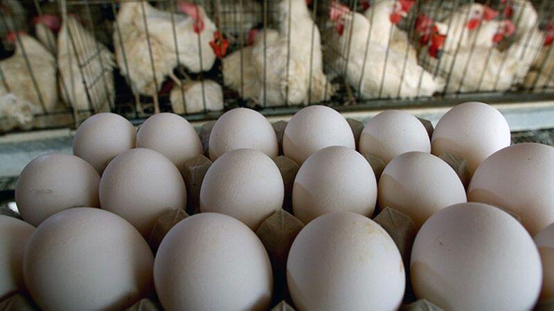 خبرنگاران فراوری 20 هزار تن تخم مرغ در مرغداری های استان قزوین